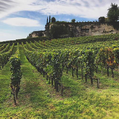 Vingård bakom vinfält